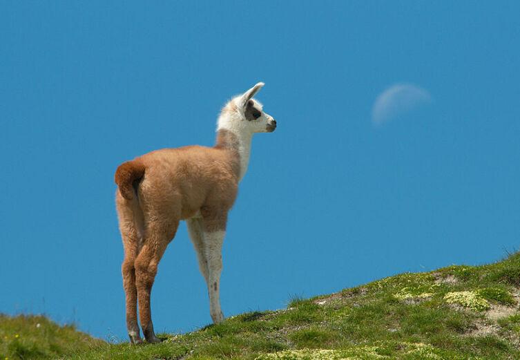 Детеныш ламы