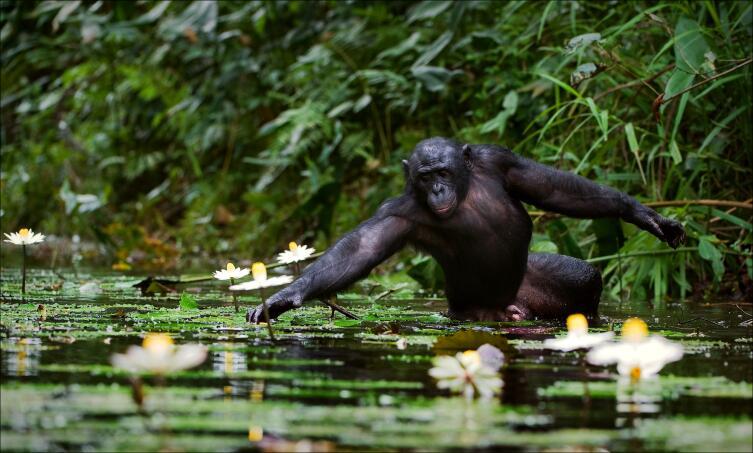 Шимпанзе собирает цветы. Река Конго