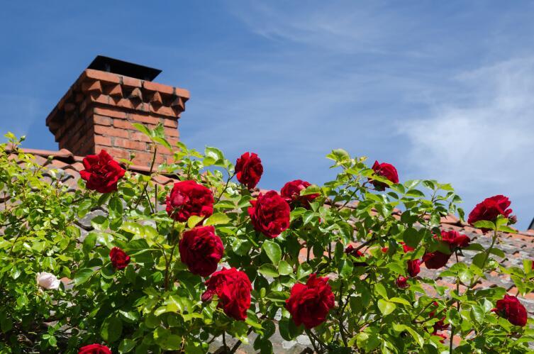 Как правильно высадить розы?