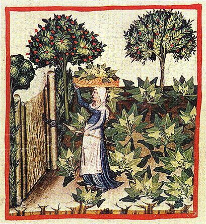 Кусты шпината на иллюстрации из средневекового ломбардского трактата Tacuinum sanitatis (XIV век)