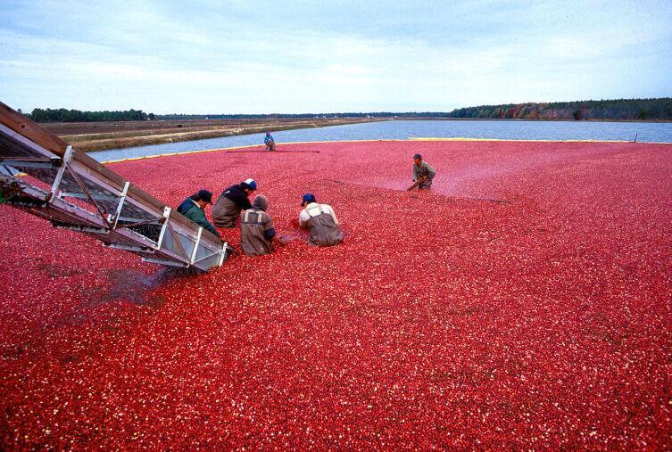 Сбор клюквы на промышленной плантации. Штат Нью-Джерси, США