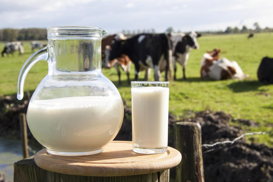 Почему взрослым нельзя пить молоко?