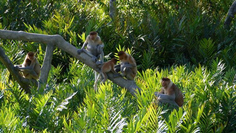 Эндемик Калимантана листоядный носач