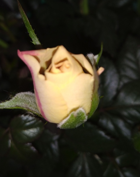Кто вредит розам?