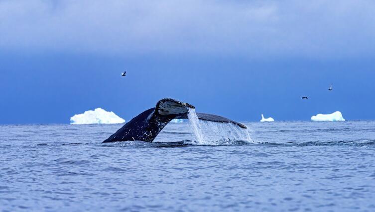 Хвост кита у побережья Антарктиды