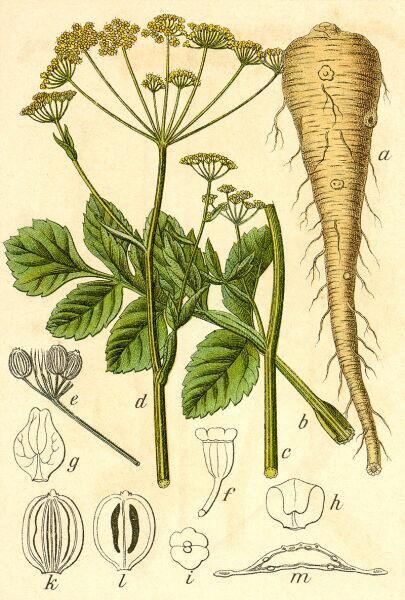 Ботаническая иллюстрация Якоба Штурма из книги Deutschlands Flora in Abbildungen, 1796 г.