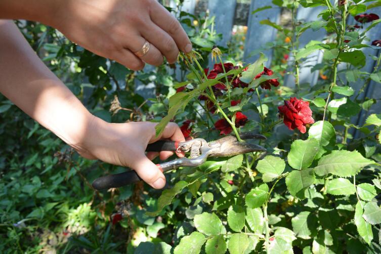 Как правильно обрезать розы?