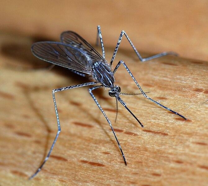 Комар жгучий