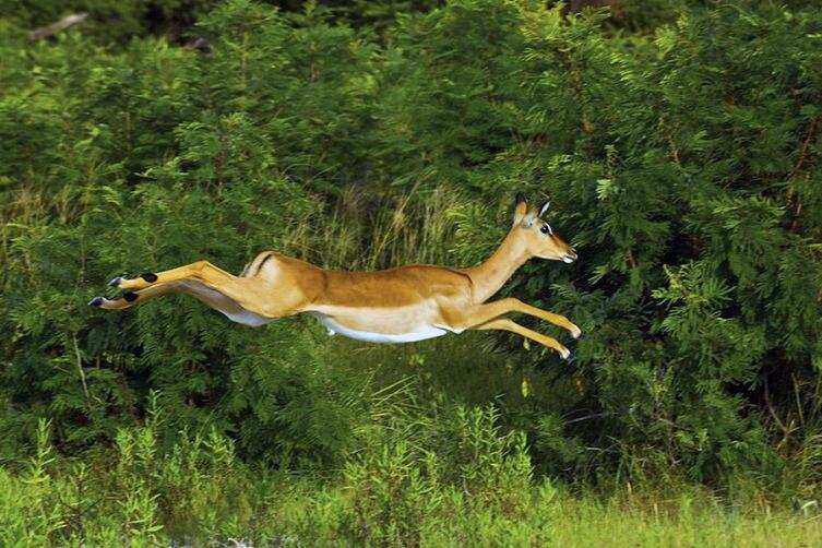 Импала в прыжке