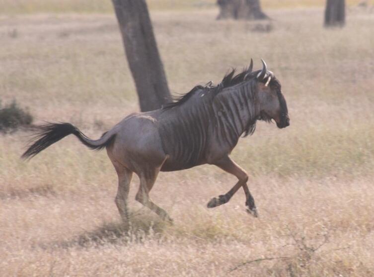 Бегущая антилопа гну