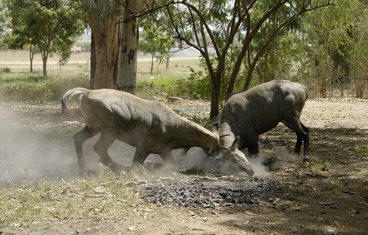 Интересно, что во время поединков самцы нильгау рога не используют. Они становятся на передние колени и пытаются пригнуть голову соперника к земле