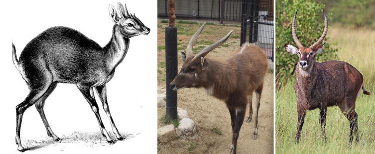 Четырёхрогая антилопа, ситатунга и водяной козёл