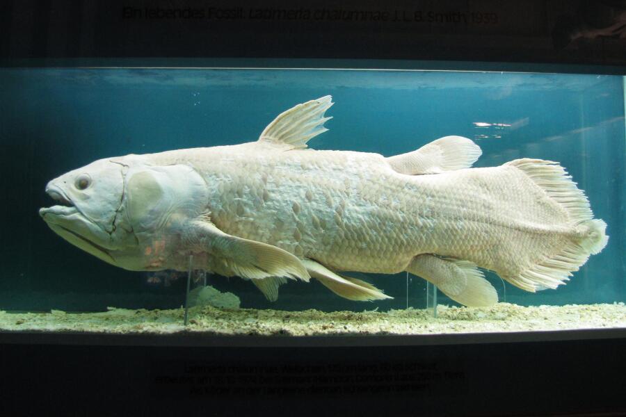 Латимерия, отряда целакантообразных (Coelacanthiformes)