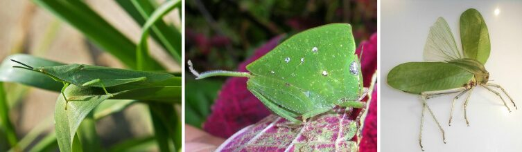 Маскировка у кузнечиков Atractomorpha lata, Phyllochoreia ramakrishna и Phyllophorinae