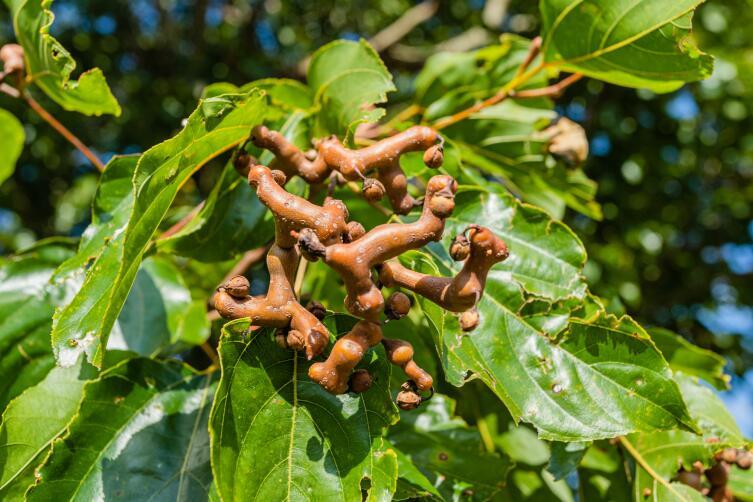 Плоды и листья сладкой говении