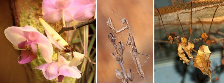 Мимикрия у разных видов богомолов. Слева направо: Hymenopus coronatus, Rivetina baetica и Idolomantis diabolica