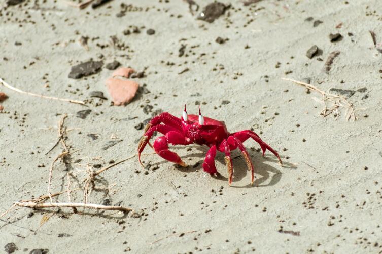Красный краб острова Рождества