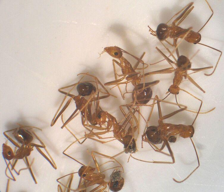 Anoplolepis gracilipes (жёлтый сумасшедший муравей)