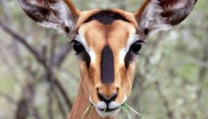 В мире животных. Если есть «антилопы», то где же «лопы»?
