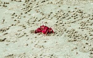 Почему жёлтый муравей стал главным врагом красного краба?