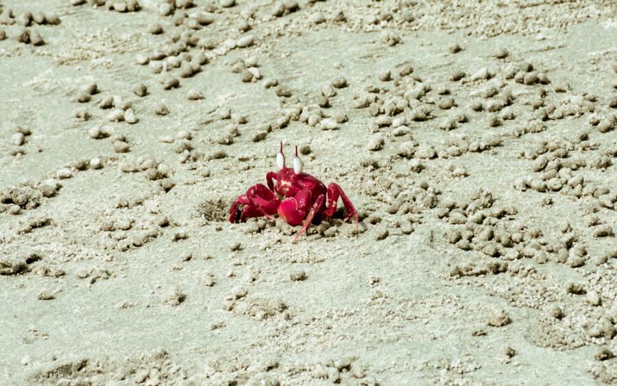 Красный краб