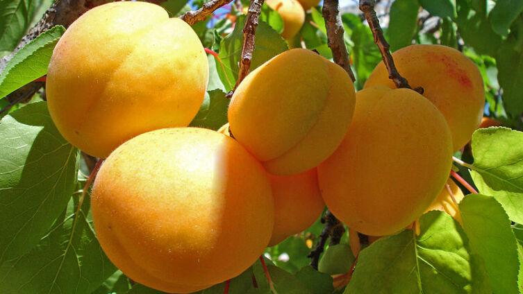 Чем полезны абрикосы и где находится «абрикосовый рай»?