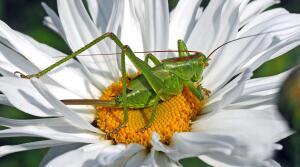 Мир насекомых. Что и как «куёт» кузнечик?