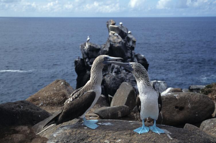 Морские птицы олуши