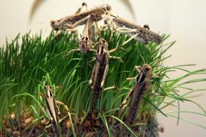 Мир насекомых. Что такое «восьмая египетская казнь» и при чем здесь саранча?