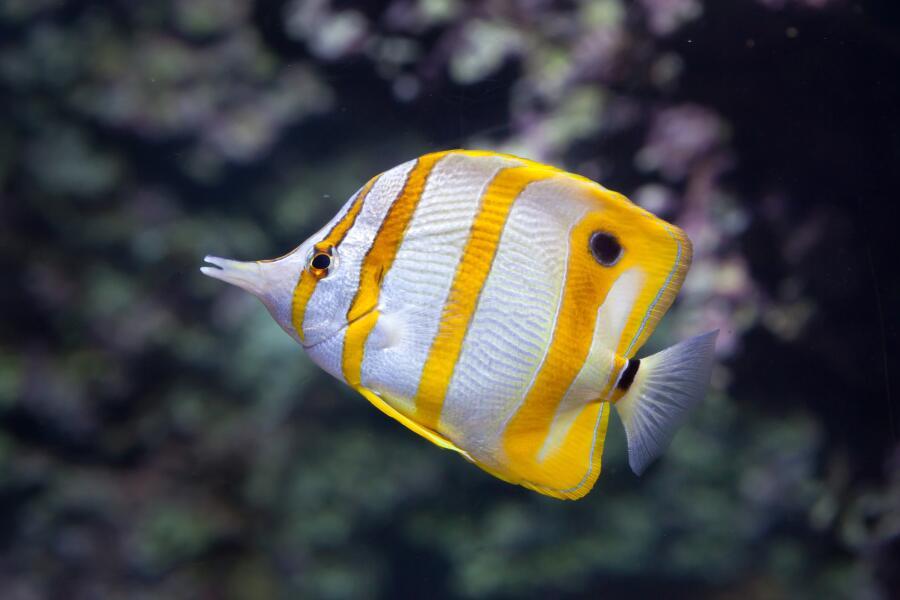 Меднополосая рыба-бабочка (щетинозуб)