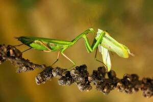 Мир насекомых. Кто из самцов молится о том, чтобы самка не оторвала ему голову?