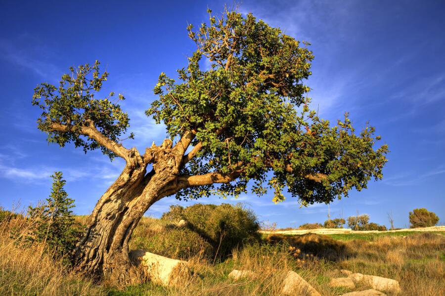 Старое рожковое дерево (Ceratōnia silīqua)