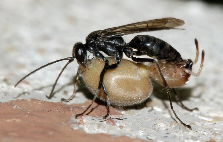 Дорожная оса Auplopus carbonarius с парализованным ею пауком