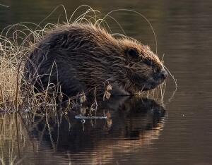 Какова жизнь у рек и озер? Водоплавающие пресноводные млекопитающие