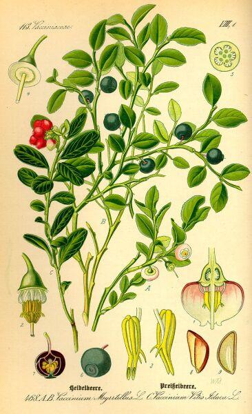 Черника. Ботаническая иллюстрация из книги О. В. Томе