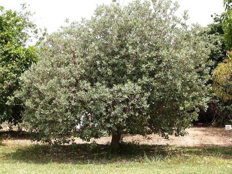 Взрослое дерево фейхоа