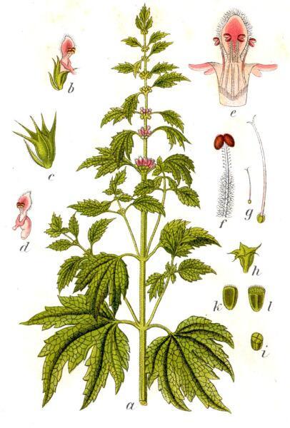 Пустырник сердечный. Ботаническая иллюстрация Якоба Штурма из книги Deutschlands Flora in Abbildungen, 1796 г.