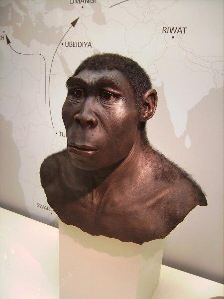 Homo erectus, Человек прямоходящий, Вестфальский музей, Германия.