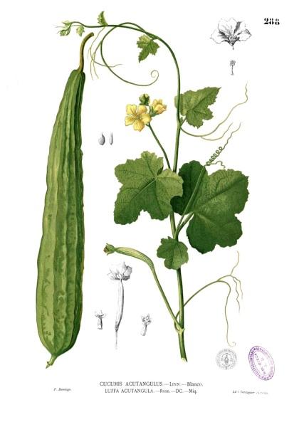 Luffa acutangula. Ботаническая иллюстрация из книги Франсиско Мануэля Бланко Flora de Filipinas, 1880—1883 гг.