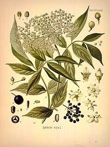 Бузина чёрная. Ботаническая иллюстрация из книги Köhler's Medizinal-Pflanzen, 1887 г.