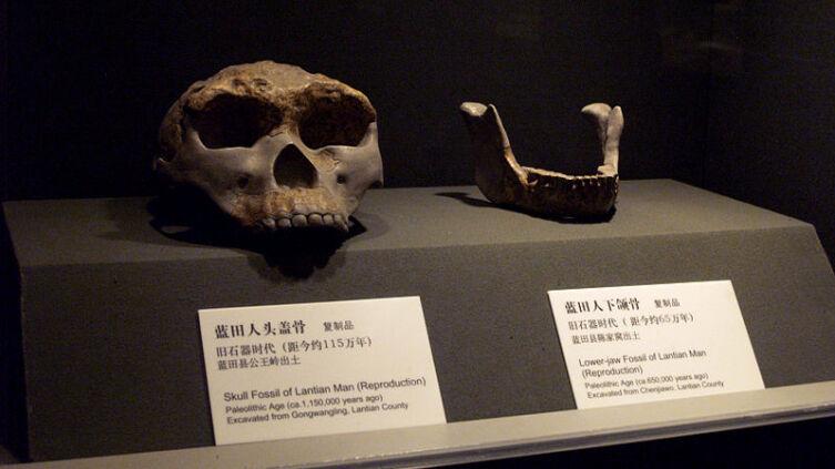 Homo erectus lantianensis, реконструкция внешнего облика
