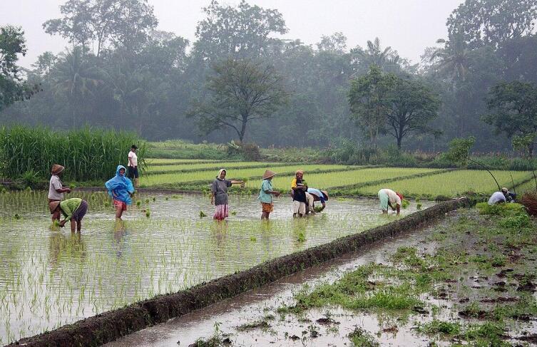 Высадка рисовой рассады на о. Ява, Индонезия