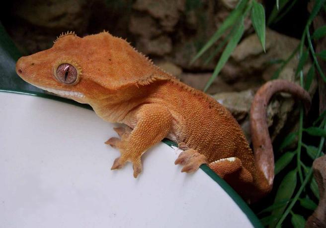 Ресничный геккон-бананоед