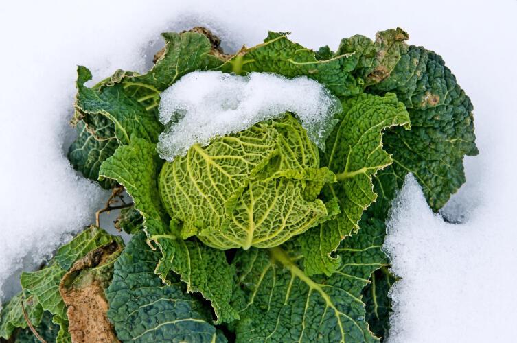 Как сохранить 90% выращенного урожая? Морковь и капуста