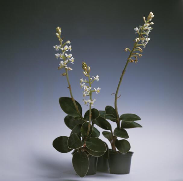 Какие орхидеи можно выращивать дома? Лудизия
