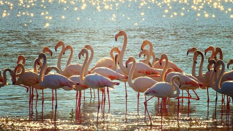 Почему фламинго называют огненной птицей?