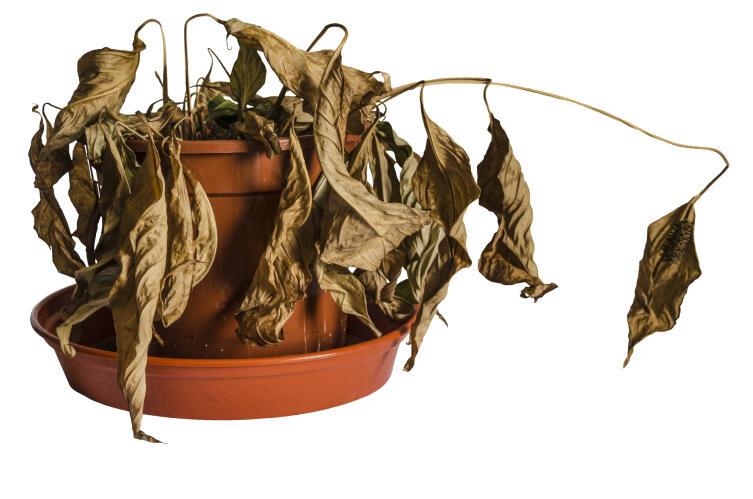 Какие признаки говорят об ошибках в удобрении комнатных растений?