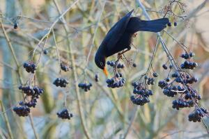 Плоды этого многолетнего кустарника обладают высокими пищевыми качествами, используются в медицине, для изготовления витаминных препаратов и пищевых красителей.