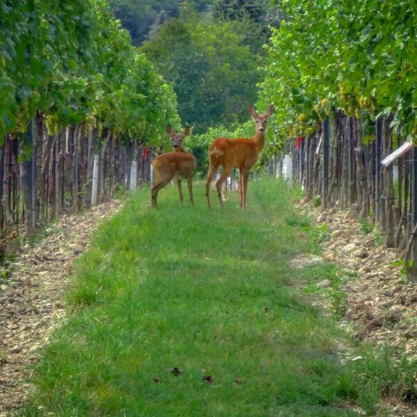 Виноградники в районе Флоридсдорф