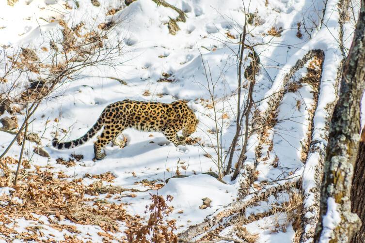 Дальневосточный леопард. Сохранит ли его человек?